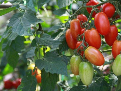 tomato_201307.jpg